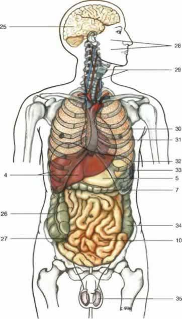 Картинка органов человека анатомия