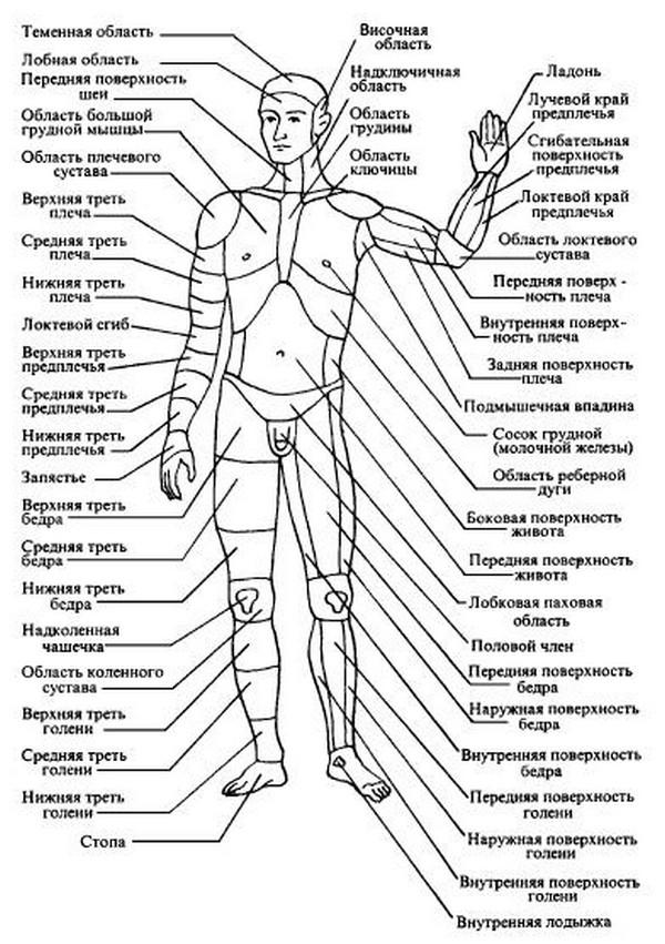Строение человека картинки описание