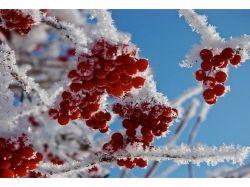 Картинки зима рябина