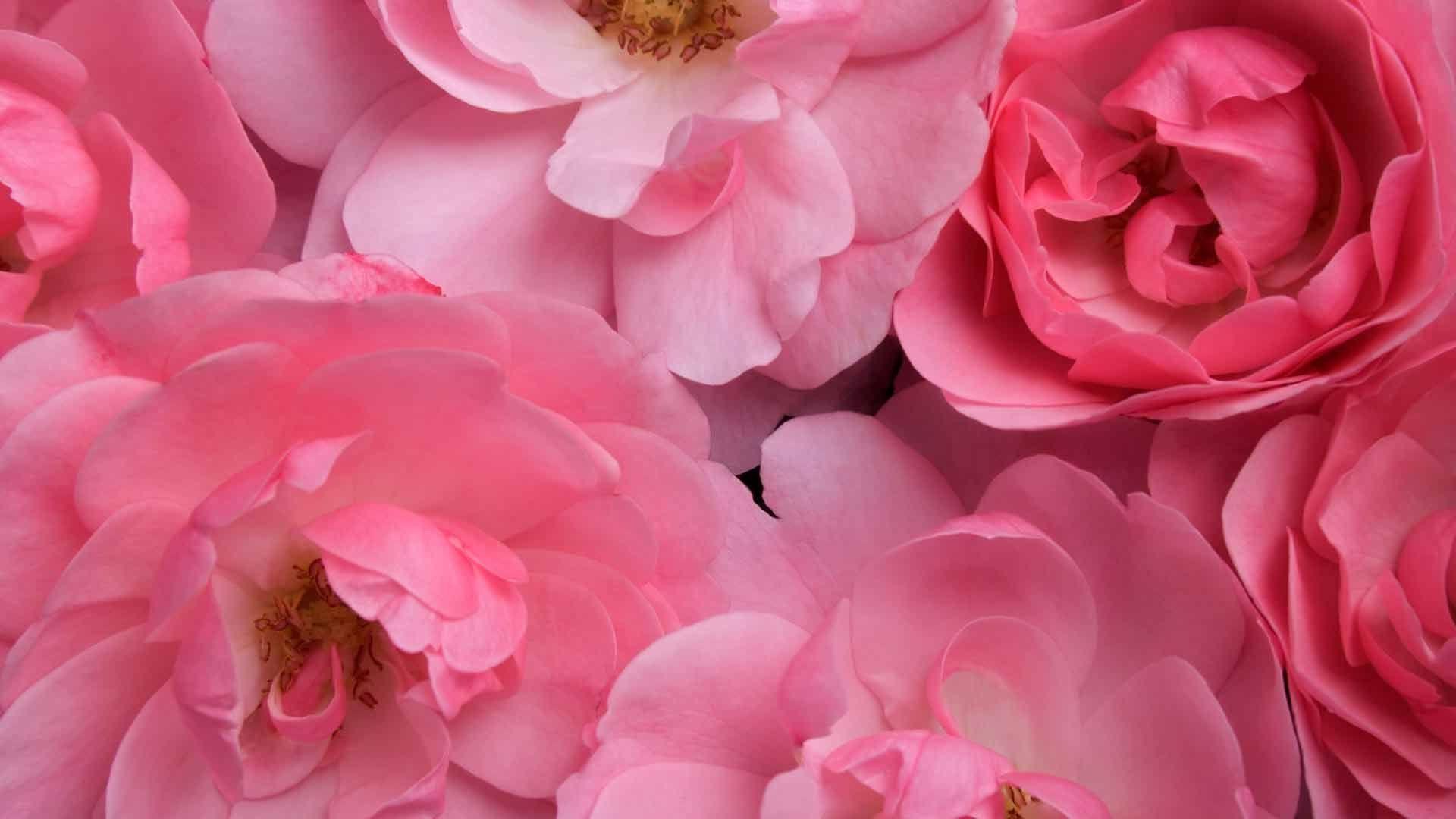 цветы розовые крупный план на телефон