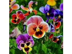 Картинки цветы анютины глазки
