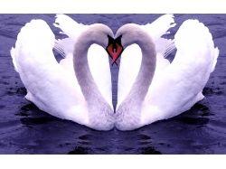 Лебеди любовь картинки