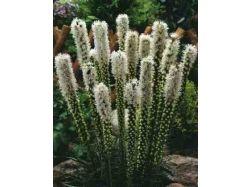 Лиатрис фото цветы