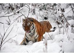 Амурские тигры фото и информация