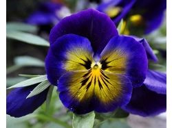 Фото цветы анютины глазки