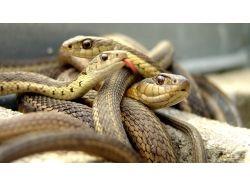Широкоформатные обои змеи