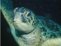 Картинки на рабочий стол.подводный мир-черепахи