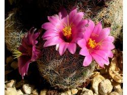 Картинки цветы кактус
