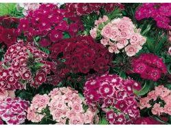 Фото цветы гвоздики 2