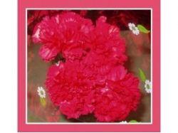 Фото цветы гвоздики 5