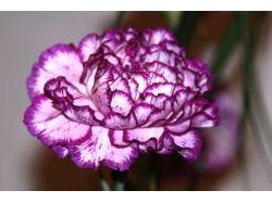 Фото цветы гвоздики 6