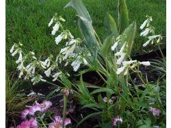 Пенстемон фото цветы