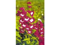 Пенстемон фото цветы 2