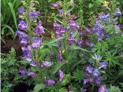 Пенстемон фото цветы 3