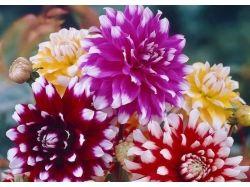Астры фото цветы