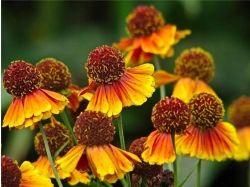 Астры фото цветы 3