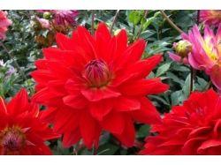 Астры фото цветы 6