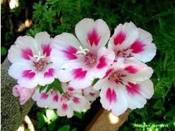 Годеция фото цветы