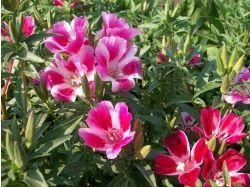 Годеция фото цветы 3