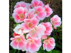 Годеция фото цветы 4