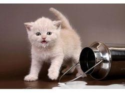 Кошки британки фото