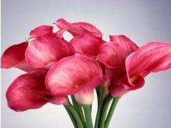 Посмотреть фото цветы калл