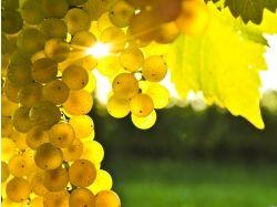 Фото цветы винограда