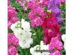 Левкой фото цветы