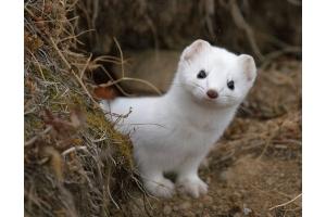 Животные красной книги россии фото и описание