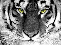 Картинки животные тигры фото