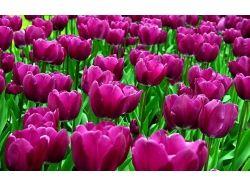 Картинки цветы красивые тюльпаны