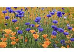 Фото цветы васельки