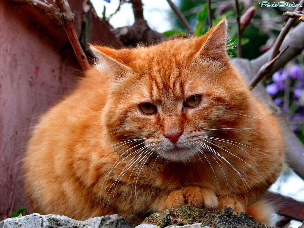 Рыжие кошки картинки фото