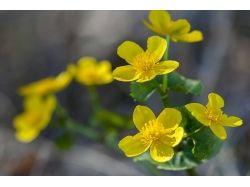 Фото цветы калужница