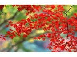 Красные кленовые листья осень фото