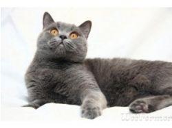 Кошки-британки фото