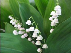 Фото цветы ландыши